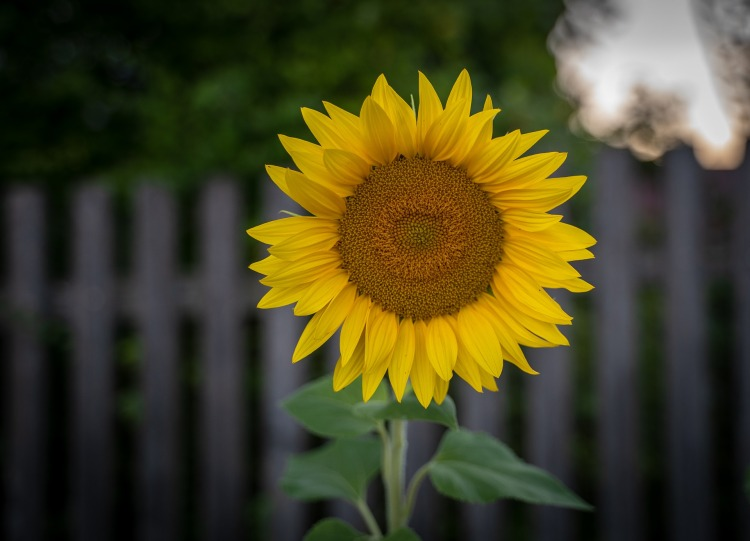 sunflower-3587502_1920