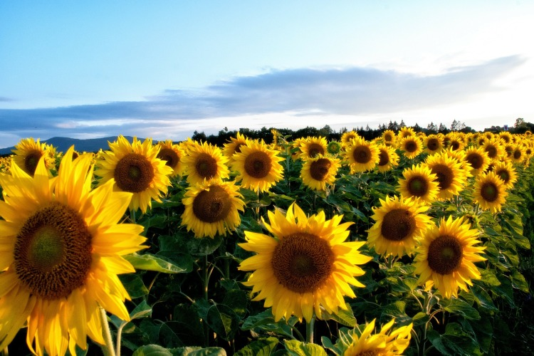 sunflower-63758_1920