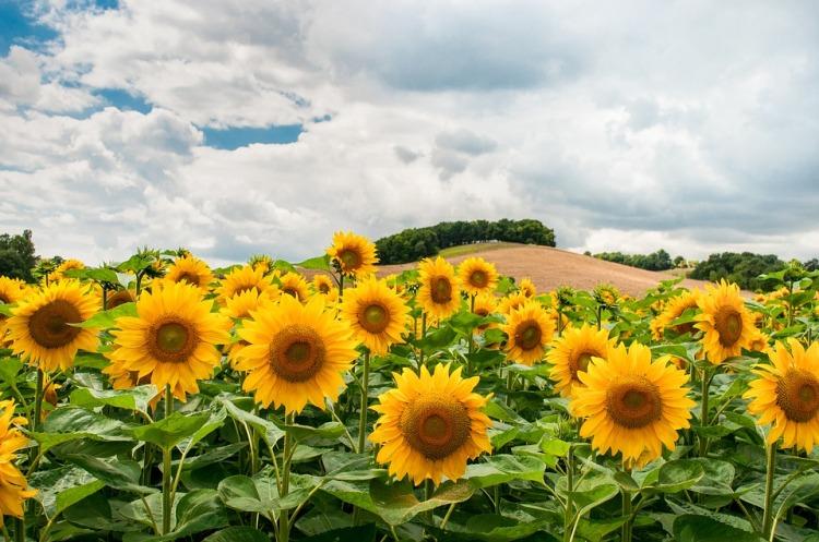 sunflowers-1091637_960_720