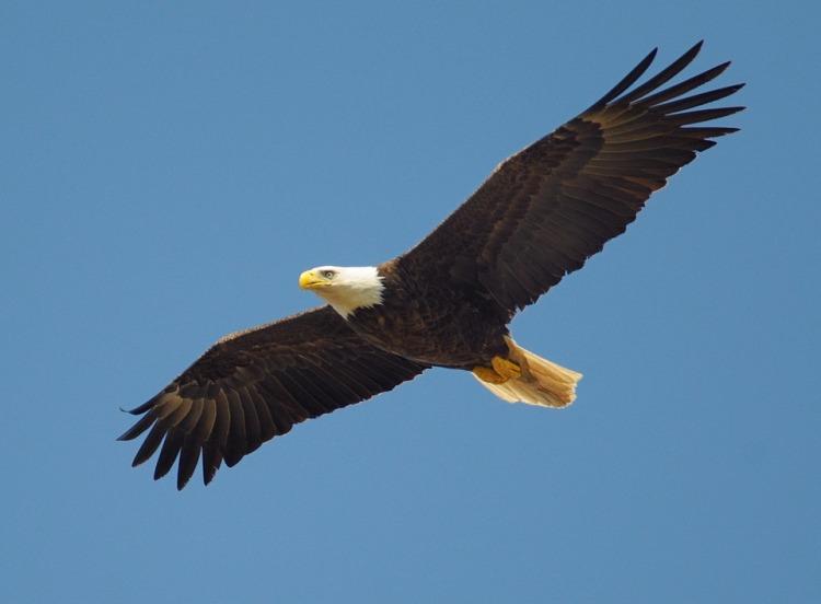 eagle-864725_960_720