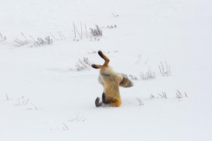 fox-3848304_1920