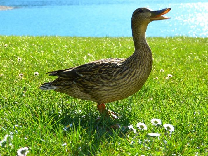 duck-475789_1920