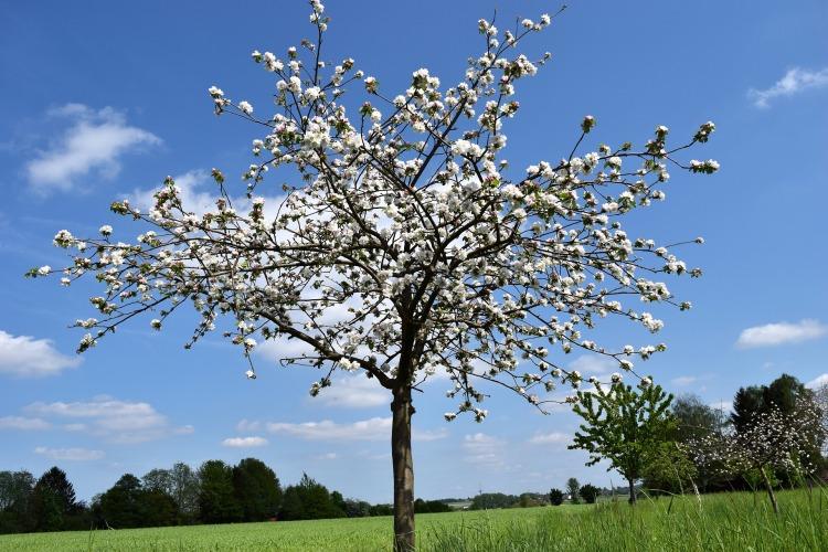 cherry-tree-851517_1920