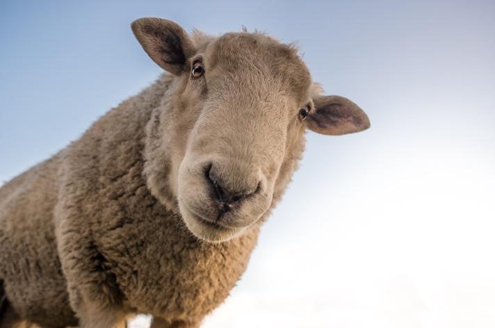 sheep-1822137_1920