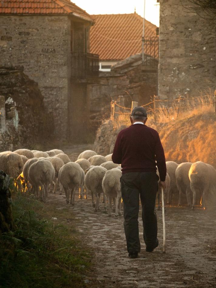 sheep-298650_1920