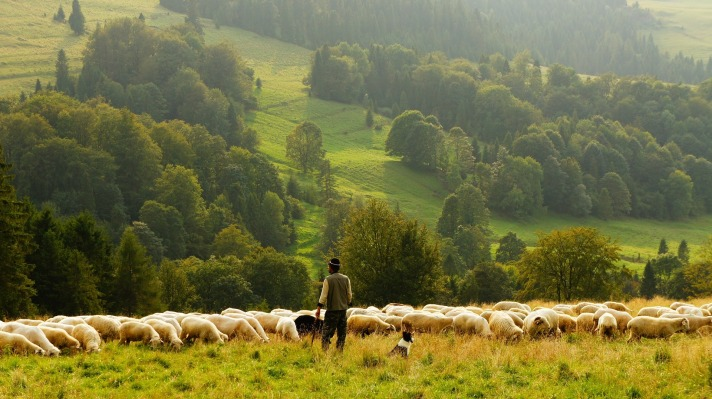 sheep-690198_1920
