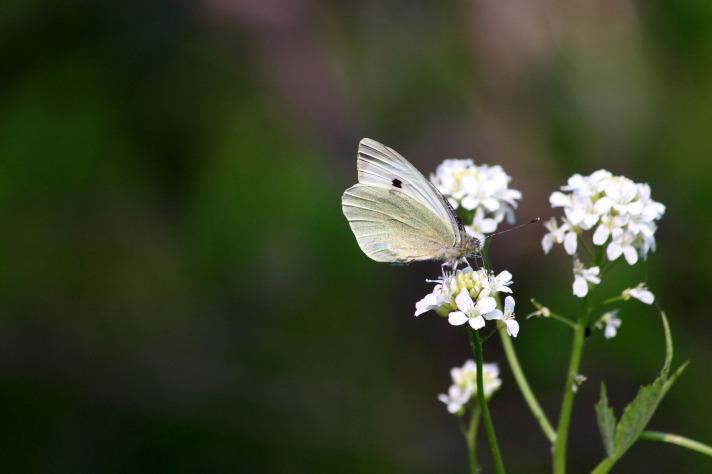 butterfly-3419897_1920