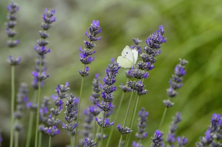 lavender-3505711_1920
